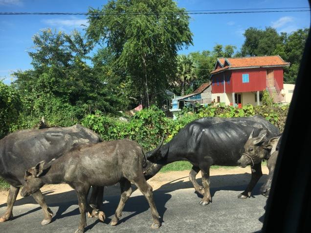 Buffalos on the road...
